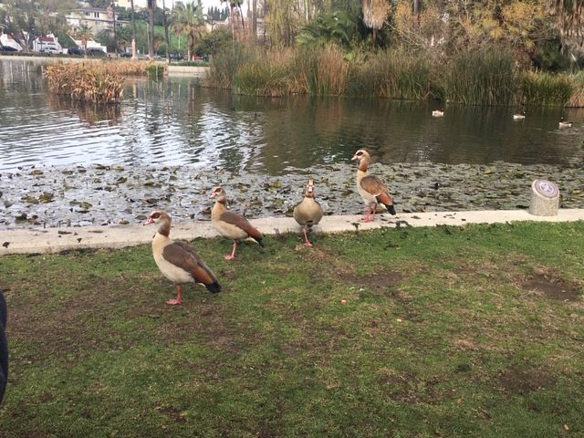 Birds of a different feather flock to Echo Park Lake