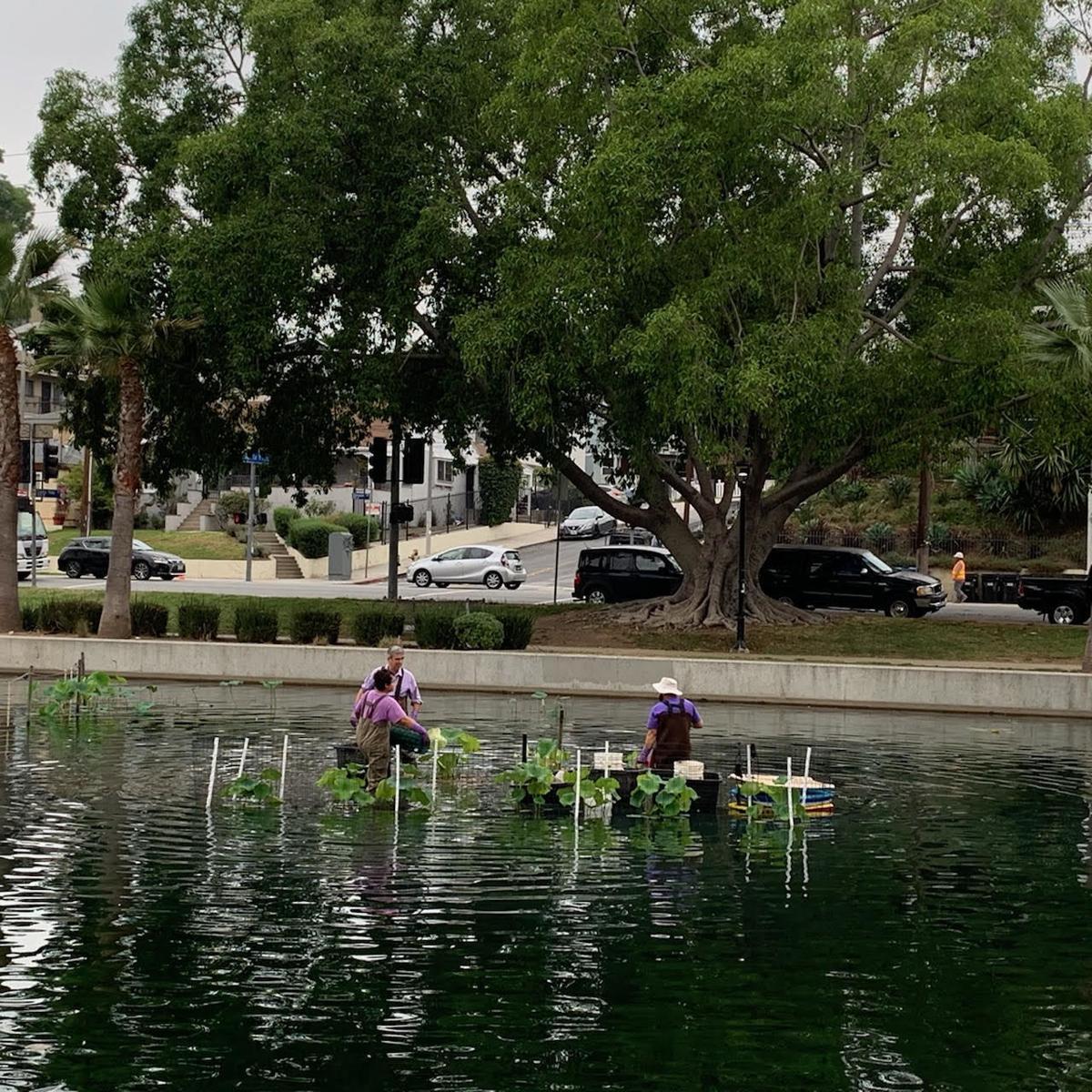 Planting lotus in Echo Park Lake