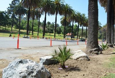 A new generation of palm trees take root in Elysian Park