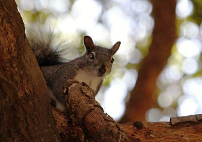 Cal State L.A. students examine the rivalry between native and newbie squirrels