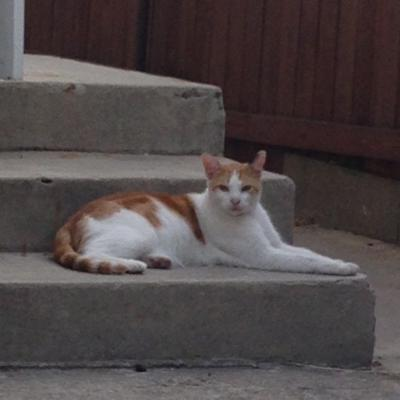 Lost In Highland Park Orange And White Male Cat Pets And Wildlife Theeastsiderla Com
