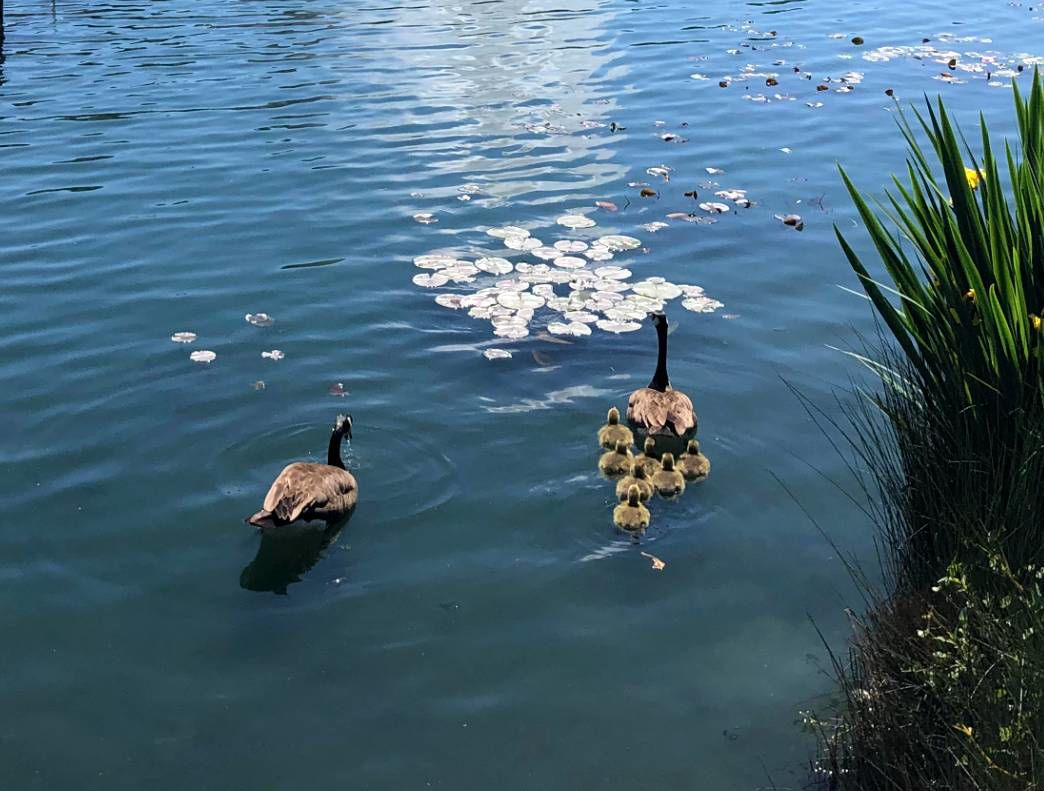 Echo Park Lake Goslings on the water