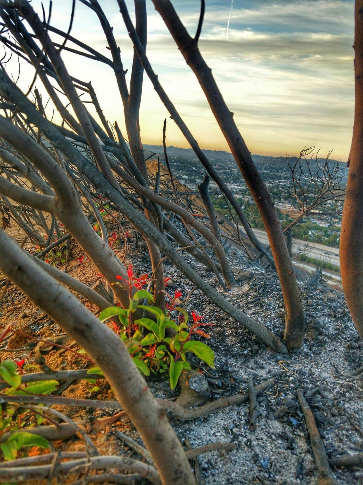 New growth in charred hill overlooking Eagle Rock