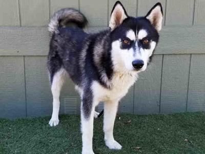 Found in Highland Park: Male & female Huskies