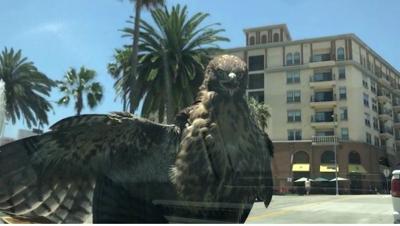 """We felt like Uber for Hawks"" -- Echo Park woman picks up an unexpected passenger"