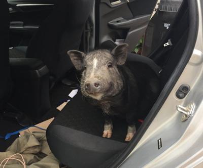 Georgie the Echo Park pig