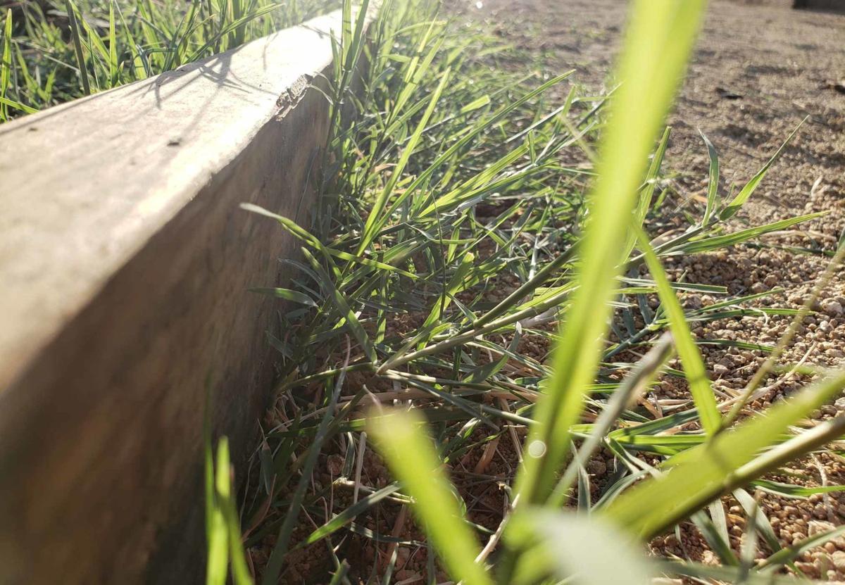 Crabgrass patch
