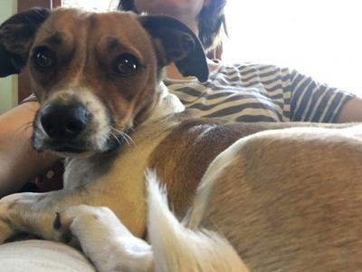 Lost in Echo Park: Beagle-Chihuahua mix