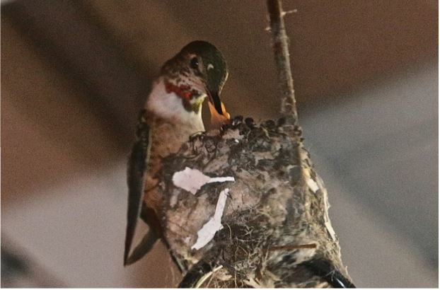 On baby hummingbird watch in Silver Lake