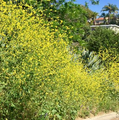 Black Mustard, the pretty boy of invasive weeds, is now blooming like crazy