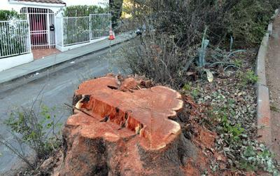 Silver Lake carob trees cut down amid safety fears