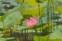 Lotus once again bloom in Echo Park Lake