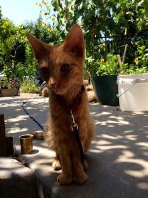 Found: Slim Silver Lake kitty needs a home