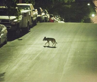 Living – safely – with the urban coyote