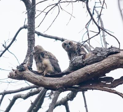 owls 728.jpg