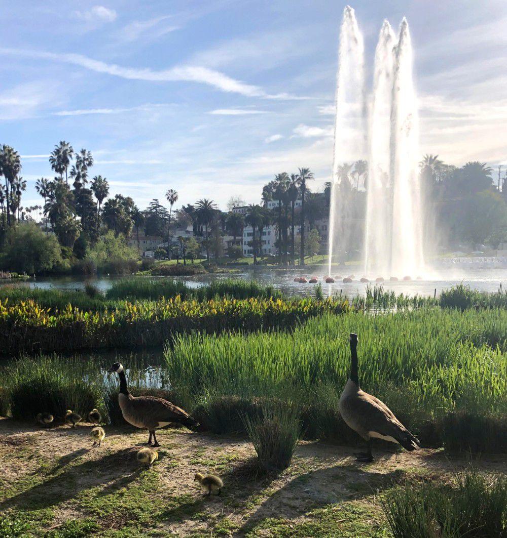 Echo Park Lake goslings walking near the shore