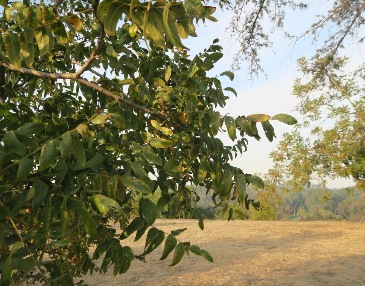 Black Walnut Trees Elysian Park Jesus Sanchez 11-3-2019 5-17-16 PM.JPG
