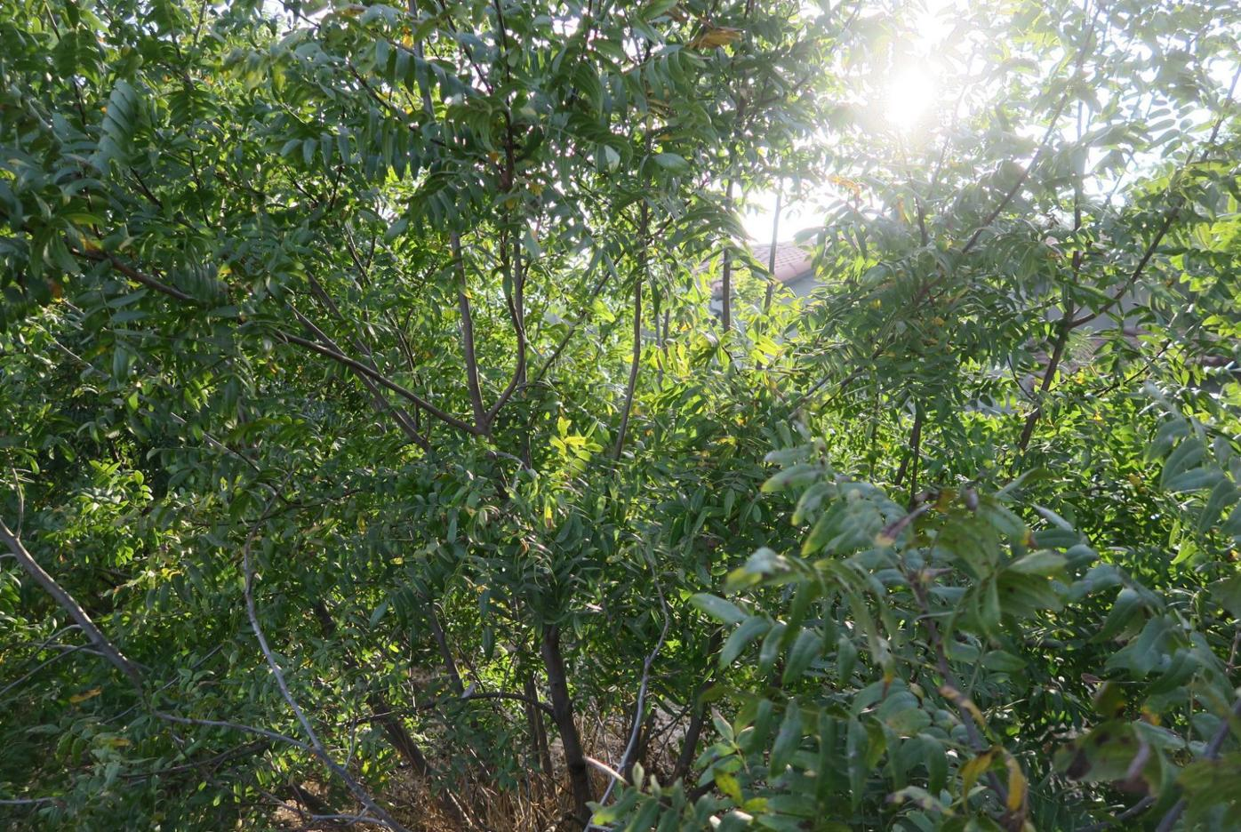Black Walnut Trees Elysian Park