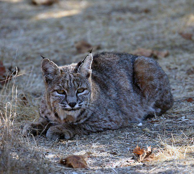 Beautiful bobcat photographed in El Sereno's Ascot Hills Park