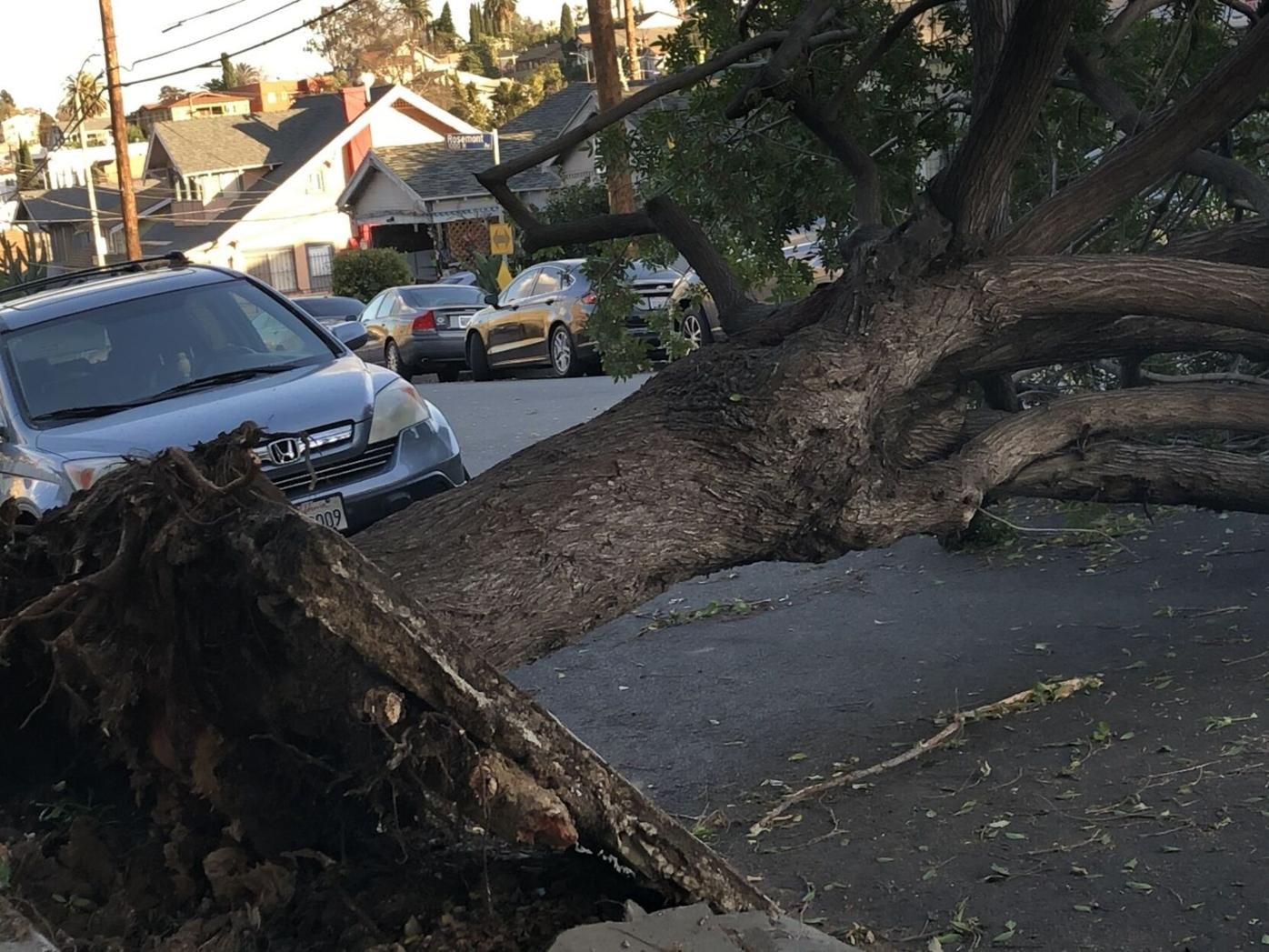 Echo Park tree uprooted on Rosemont