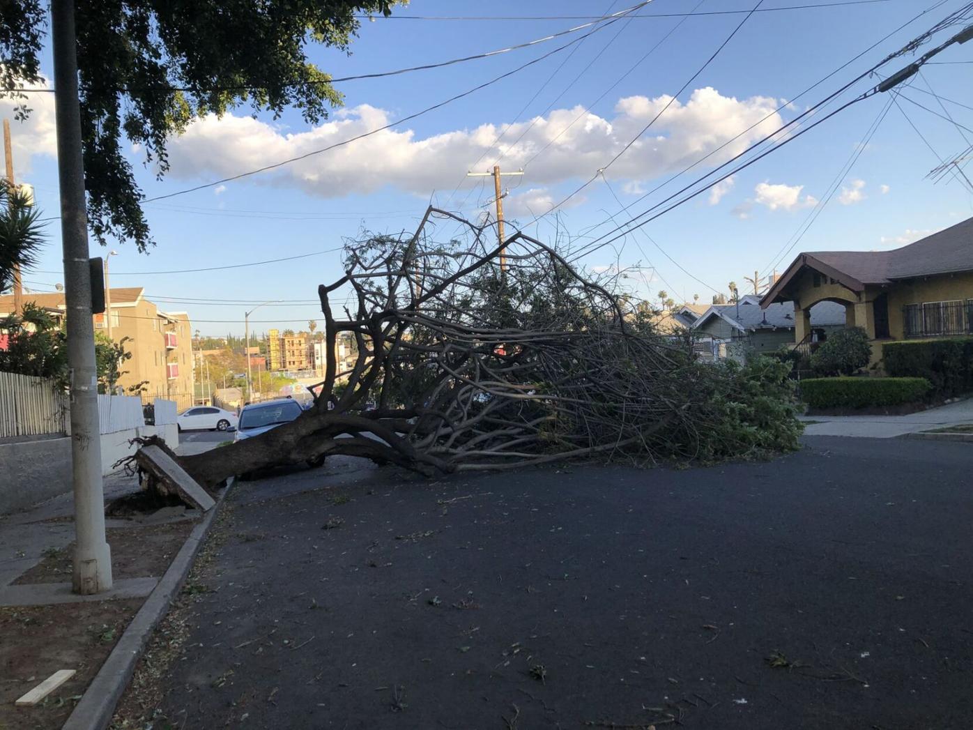 Echo Park tree topples on Marathon