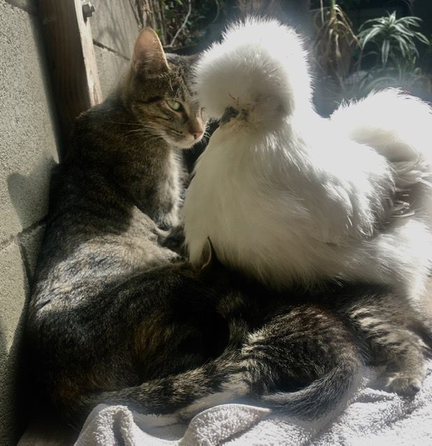 chickens and kittens photo by anne hars.jpg