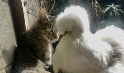 No feathers? No matter. A chicken named Ethel takes six kittens under her wing