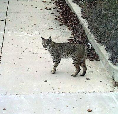 Bobcats in Silver Lake?