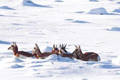 Pronghorn migrations
