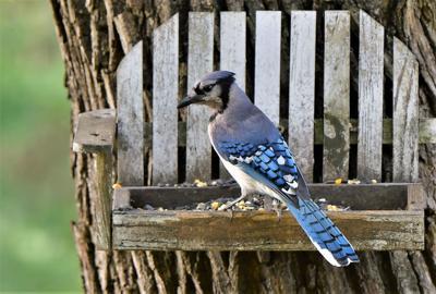 ETW Blue Jay