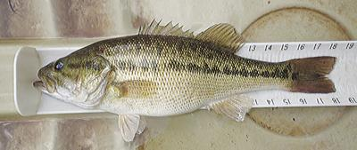 Invasive species of bass poses a major threat to area lakes