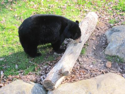 Nature Center's Black Bear