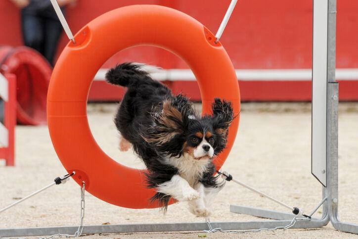 jumping cavalier king charles