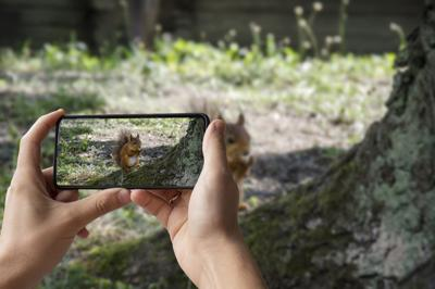 Man holding phone and taking photo of red squirrel eats in park