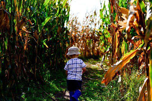 Corn Maze Stock