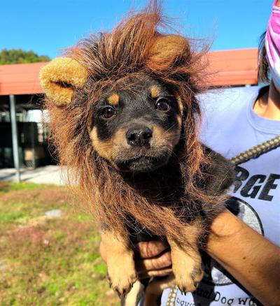 Sarge's pup Clark in his lion costume for Sarge's Halloween Facebook Live parade
