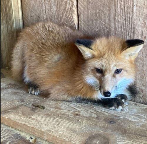 Bonita red fox
