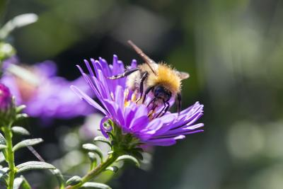 Common Carder Bee collecting pollen from an Aster flower