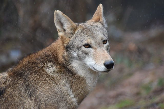 Friends of the WNC Nature Center Red Wolf Karma.jpg
