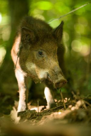 County Commission Joins Counties In Opposition Of U.S.F.S. Hog Hunting Ban