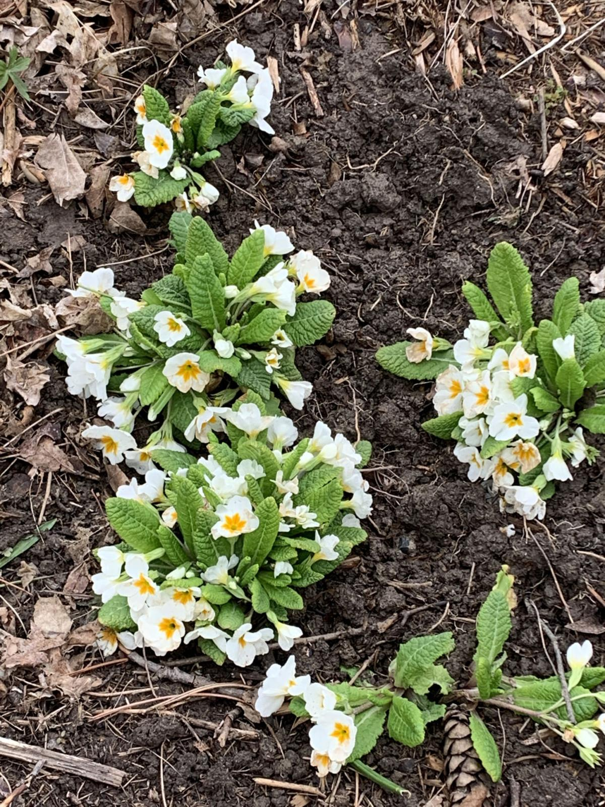 Primroses are tougher than you think