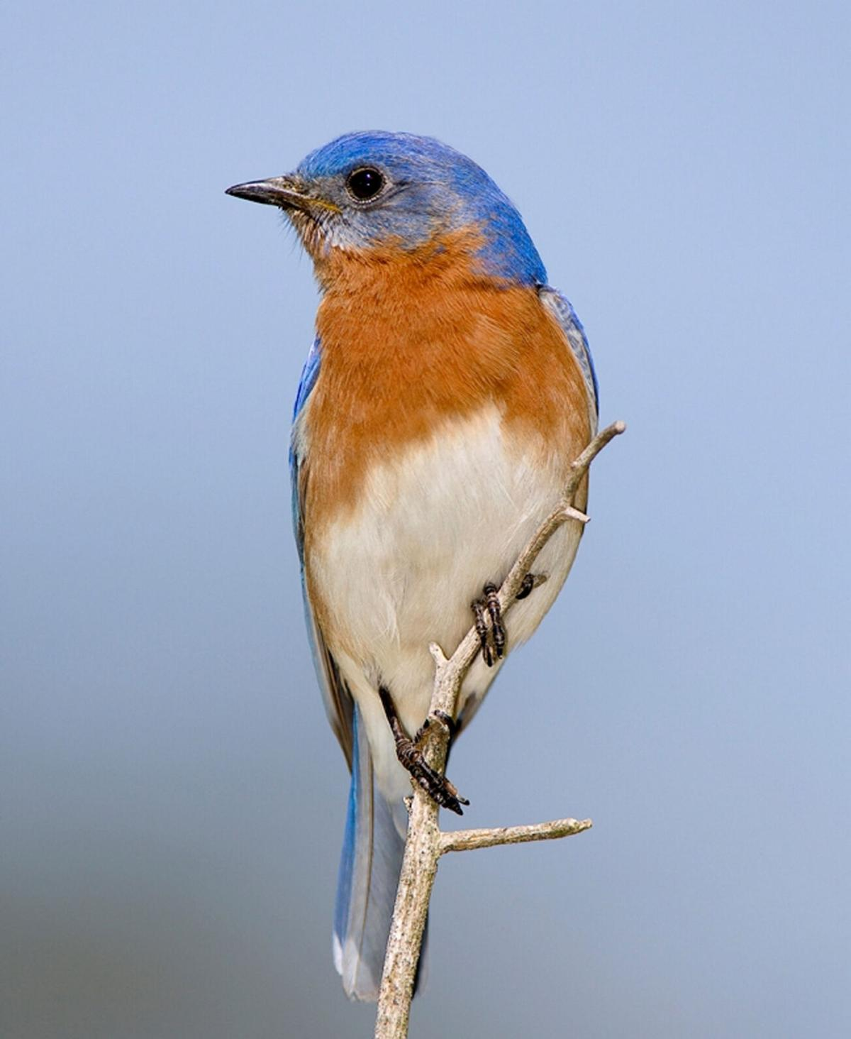 Spring is the time to think like a bluebird