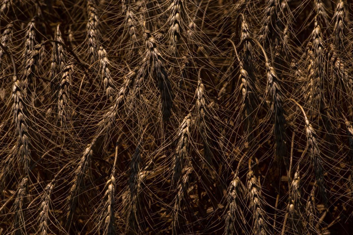 070821_merc_new_wheatharvest-8.jpg
