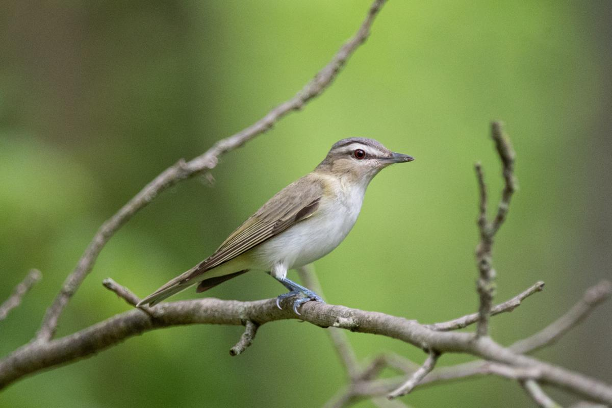 A red-eyed vireo perches on a branch.