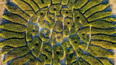 A&H corn maze