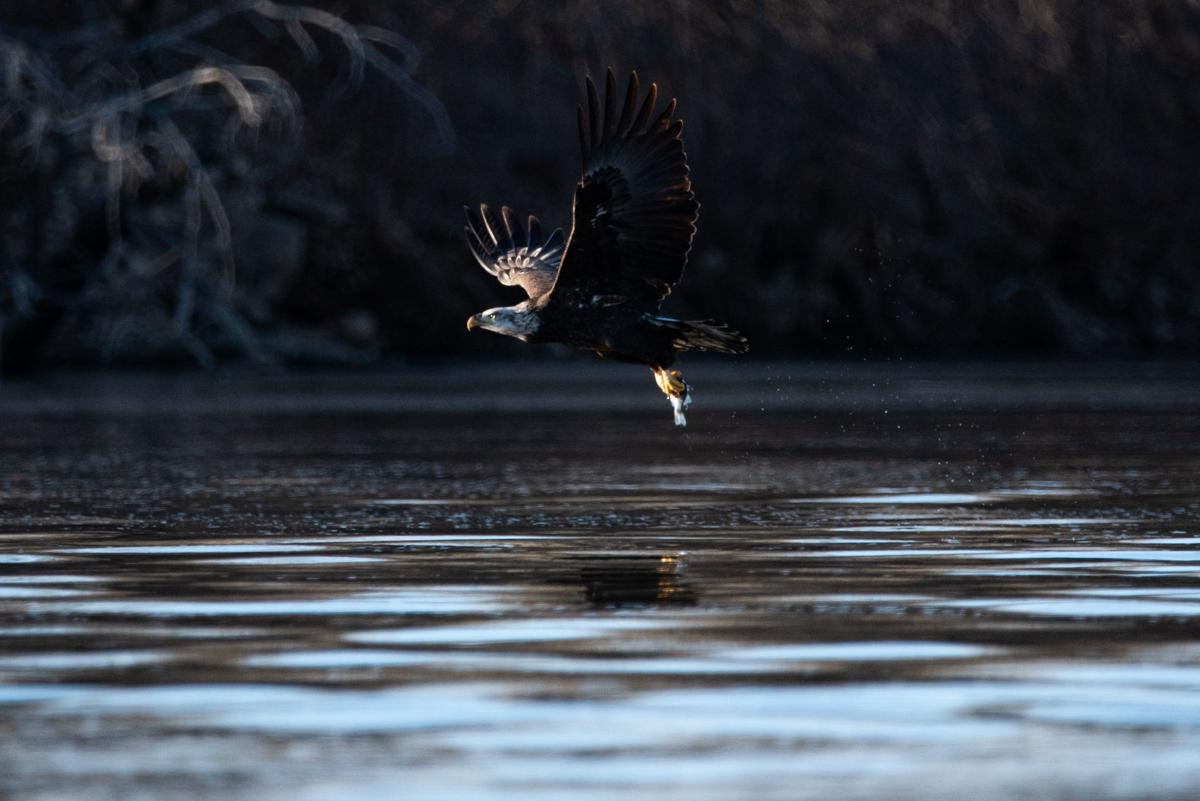 A Bald Eagle catches a fish in Big Blue River.