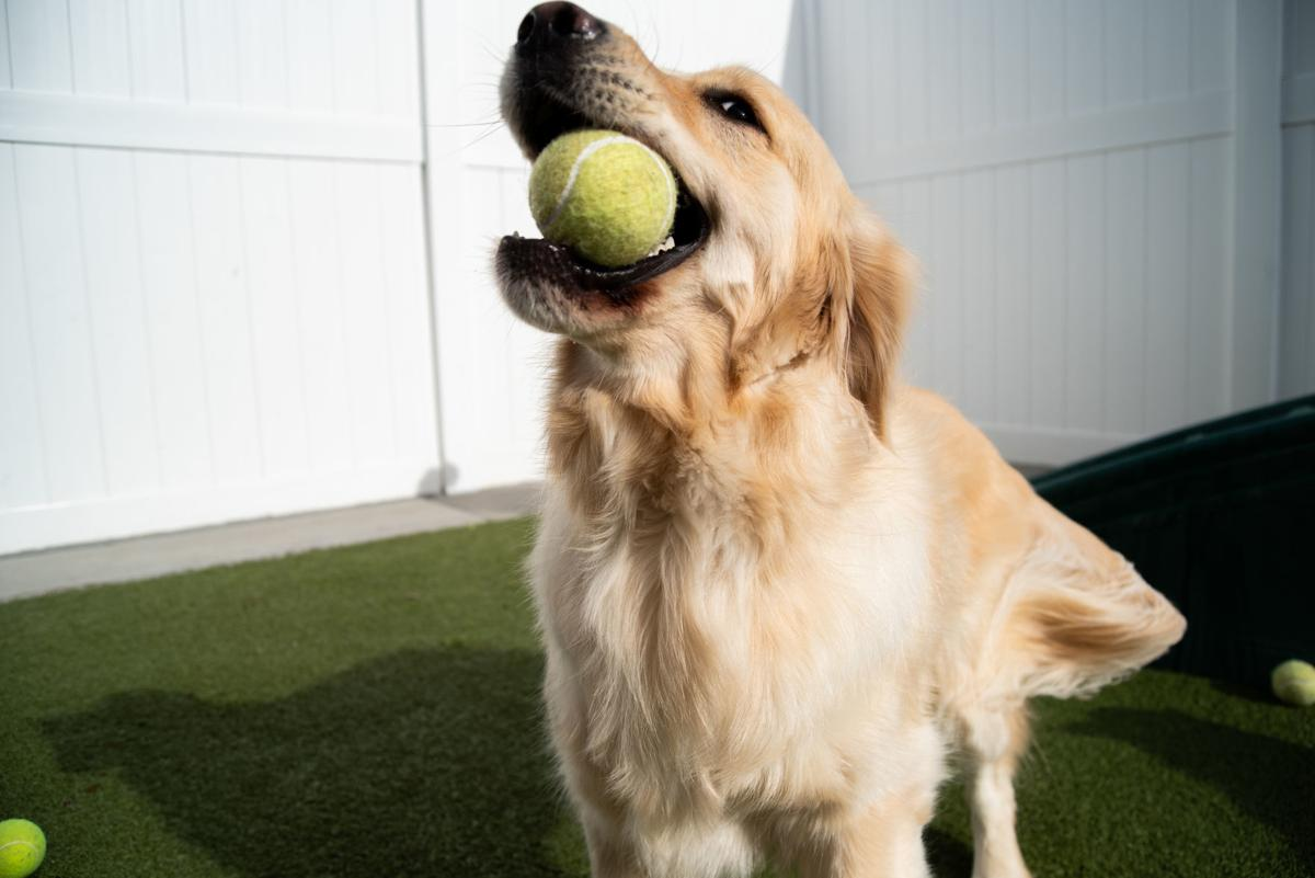 A golden retriever catches a tennis ball during the Tennis Ball Frenzy at WoofÕs Play and Stay.