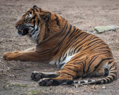 A Malayan Tiger names Hakim lies in his exhibit at Sunset Zoo.