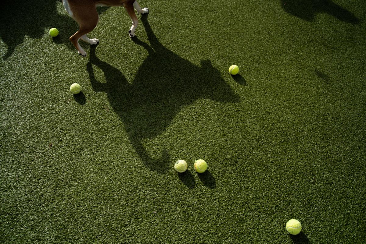 A dogÕs shadow is surrounded by tennis balls at WoofÕs Play and Stay during the Tennis Ball Frenzy.