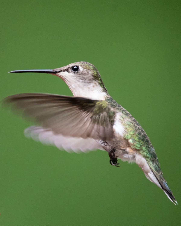 A female ruby-throated hummingbird flies up to a hummingbird feeder.